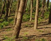 Фламандская солнечная елевая деталь леса стоковая фотография