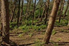 Фламандская солнечная елевая деталь леса стоковое фото