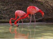 фламингоы дуо Стоковое Фото