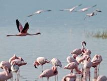 фламингоы летают над розовой водой Стоковое Фото