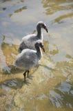 фламингоы младенца Стоковые Изображения RF