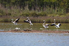 фламингоы приземляясь пруд стоковое изображение