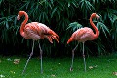 фламингоы 2 Стоковые Изображения RF