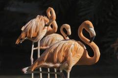 фламингоы Стоковое фото RF