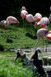 Фламингоы   Стоковые Изображения