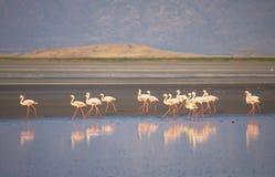 фламингоы Стоковая Фотография