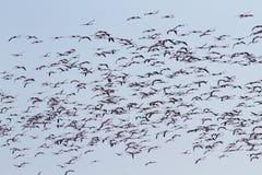 фламингоы flock пинк Лагуна Рекы По Стоковые Фото