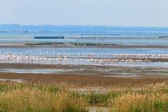 фламингоы flock пинк Лагуна Рекы По Стоковое Изображение RF