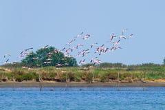 фламингоы flock пинк Лагуна Рекы По Стоковые Фотографии RF