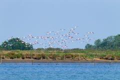 фламингоы flock пинк Лагуна Рекы По Стоковое фото RF