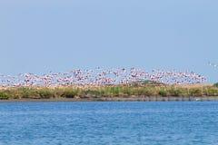 фламингоы flock пинк Лагуна Рекы По Стоковая Фотография RF