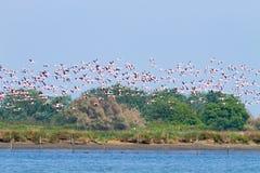 фламингоы flock пинк Лагуна Рекы По Стоковые Изображения RF