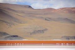 фламингоы laguna colorada Стоковое фото RF