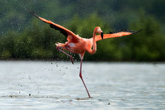 Фламинго бежит на воде с брызгает Стоковое фото RF