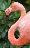 фламинго более большой Стоковое Изображение RF