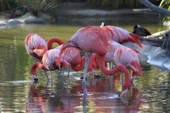 Фламинго в воде на зоопарке Стоковая Фотография