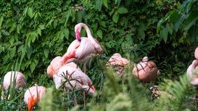 Фламинго группы отдыхая в озере среди деревьев на лете дня горячем стоковые изображения