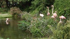 Фламинго группы, roseus Phoenicopterus, близко к озеру среди деревьев акции видеоматериалы