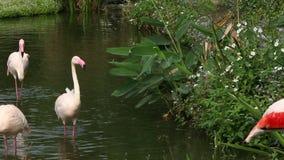 Фламинго группы, roseus Phoenicopterus, chilensis Phoenicopterus, в озере видеоматериал