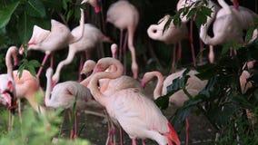 Фламинго группы, roseus Phoenicopterus, chilensis Phoenicopterus, отдыхая видеоматериал