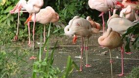 Фламинго группы, roseus Phoenicopterus, chilensis Phoenicopterus, отдыхая акции видеоматериалы