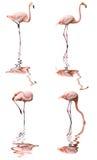 фламинго изолировал Стоковые Изображения RF