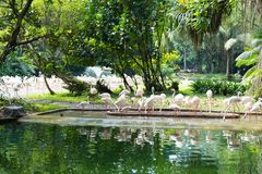 Фламинго или фламинго тип wading птицы в семье Стоковые Изображения RF
