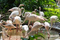 Фламинго или фламинго тип wading птицы в семье Стоковая Фотография