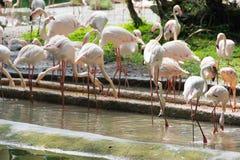 Фламинго или фламинго тип wading птицы в семье Стоковое Фото