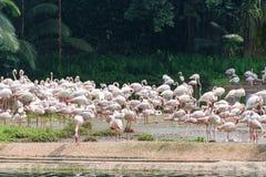 Фламинго или фламинго тип wading птицы в семье Стоковые Фотографии RF