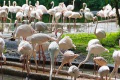 Фламинго или фламинго тип wading птицы в семье Стоковая Фотография RF