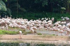 Фламинго или фламинго тип wading птицы в семье Стоковое фото RF