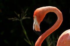фламинго крупного плана Стоковые Фотографии RF