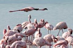 фламинго летает над розовой водой Стоковая Фотография