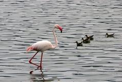 фламинго меньшяя вода wading Стоковая Фотография RF