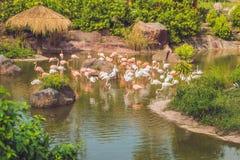 Фламинго на пруде на зоопарке стоковая фотография