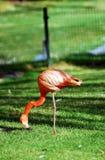фламинго одиночный Стоковая Фотография