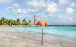 Фламинго, остров Аруба стоковые фотографии rf