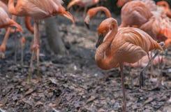 Фламинго розовой большой птицы большой Стоковые Фотографии RF