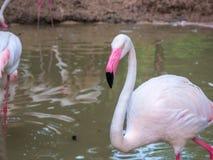 Фламинго розовых больших птиц большие в чистке воды оперяются Стоковое Изображение RF