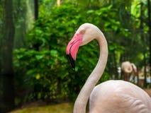 Фламинго розовых больших птиц большие в чистке воды оперяются Стоковое Фото