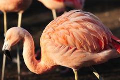 фламинго рыболовства Стоковые Фото