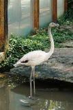 Фламинго стоя в воде Стоковая Фотография