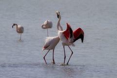 фламинго танцы Стоковое фото RF