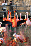 фламинго танцы стоковые фотографии rf