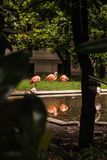 3 фламинго увиденного через деревья магнолии grandiflora стоковое фото rf