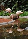 фламинго фарфора Стоковые Изображения RF