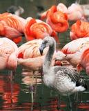 фламинго цыпленока Стоковые Фото