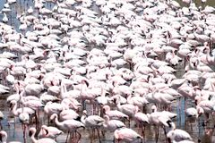Фламинго Стоковая Фотография RF
