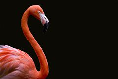 фламинго Стоковое Фото